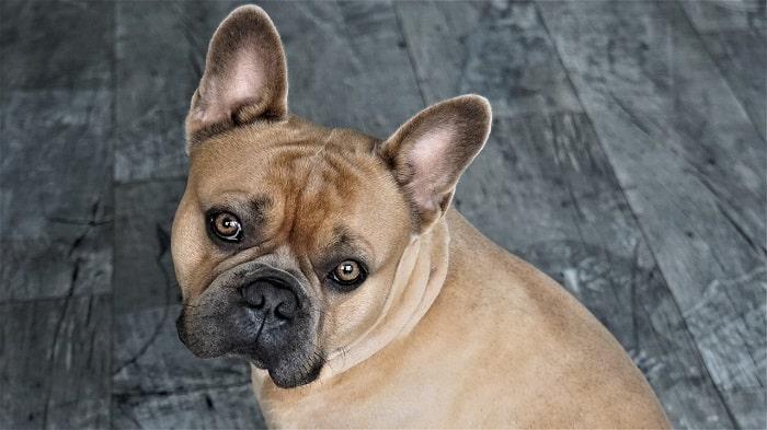 Phân Biệt Chó Bulldog Anh Và Chó Bulldog Pháp