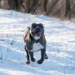 phân biệt chó pitbull và chó bully