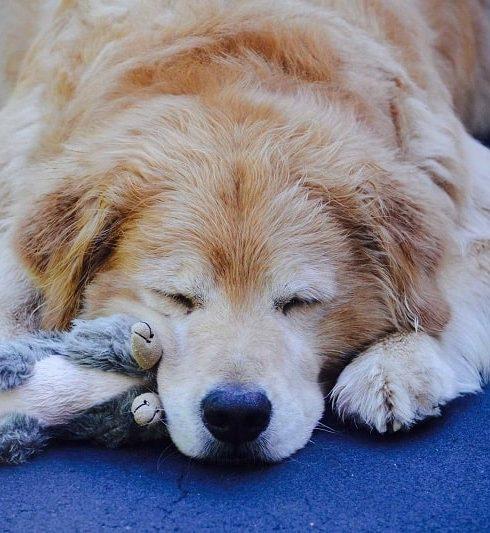 chó bị giun sán