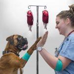 chó bị nhiễm trùng máu