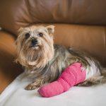 chó bị đau chân