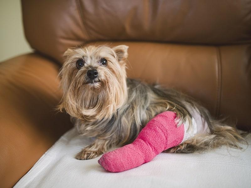 gãy xương chân ở chó