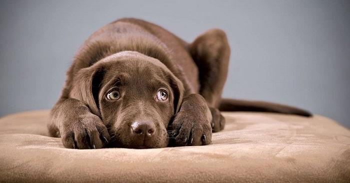 Nguyên Nhân Dẫn Đến Chó Bị Hoảng Sợ
