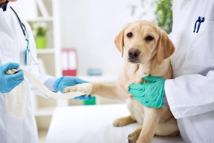 nguyên nhân thường gặp khi chó bị sưng chân