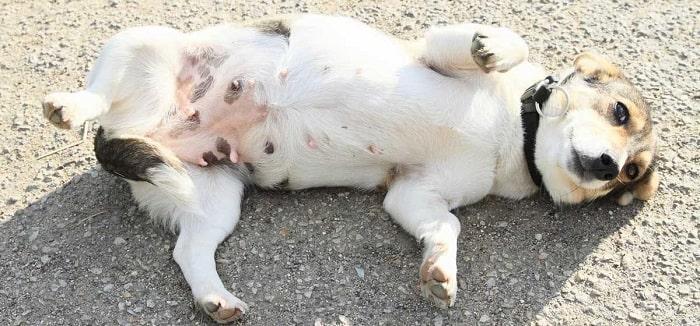 Cách Chữa Trị Chó Bị Chướng Bụng