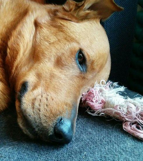 chó bị ký sinh trùng