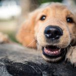 chó có thay răng hay không