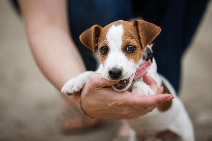 Chó Có Thay Răng Không