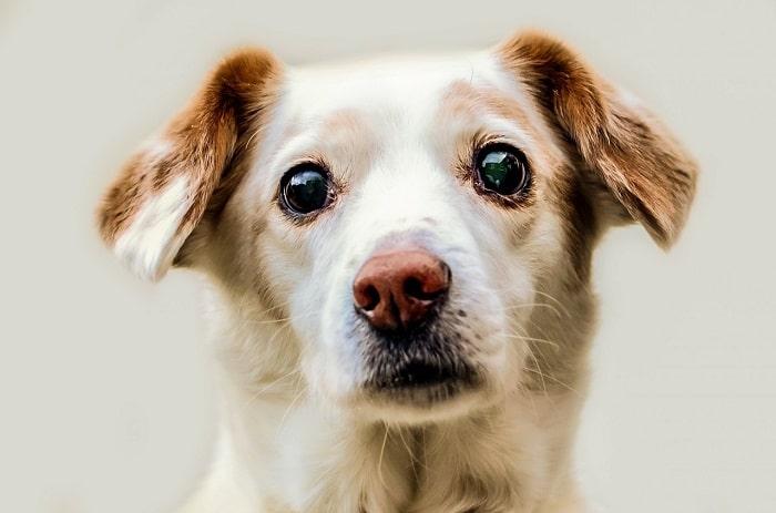 Đặc Điểm Nổi Bật Của Đôi Mắt Chó