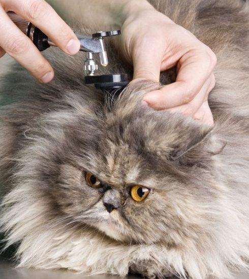 mèo bị viêm tai