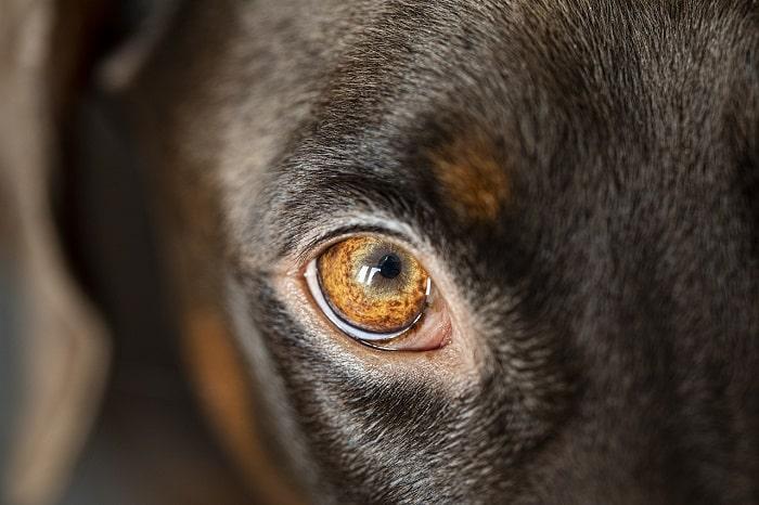 Nghiên Cứu Về Đôi Mắt Của Chó