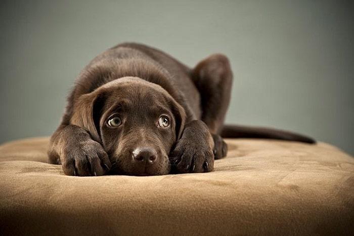 Nguyên Nhân Khiến Chó Bị Stress