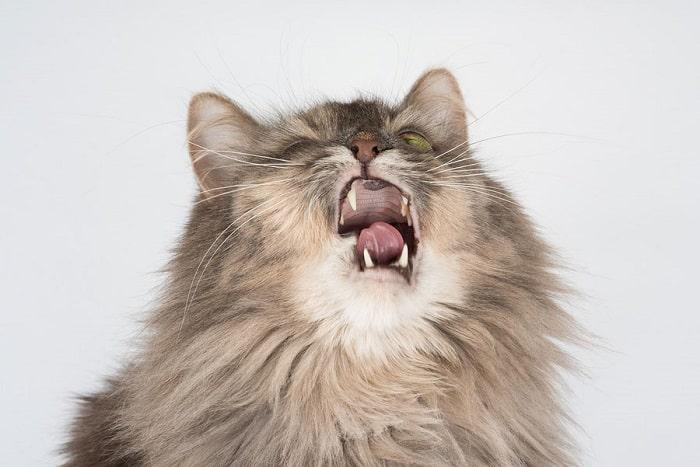 Nguyên Nhân Khiến Mèo Bị Hắt Xì