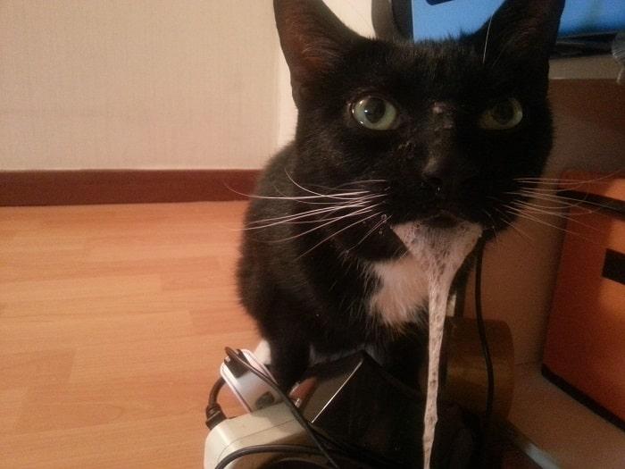 Nguyên Nhân Của Mèo Bị Sùi Bọt Mép
