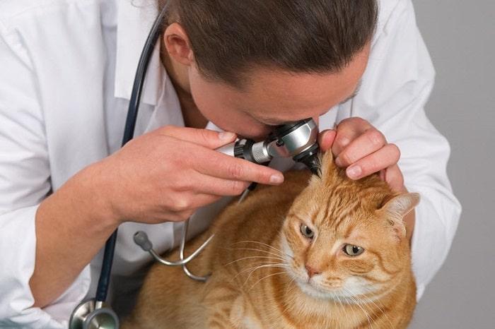 Nguyên Nhân Mèo Bị Viêm Tai