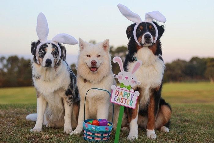 Tuổi Thọ Của Các Giống Chó