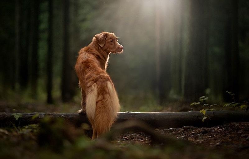tuổi thọ của chó