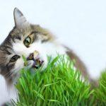 cỏ lúa mì cho mèo