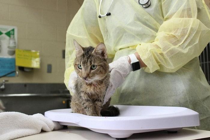 Điều Trị Bệnh Fip Ở Mèo