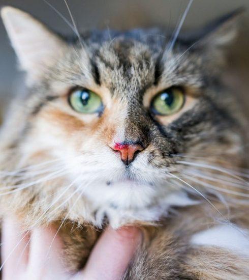 mèo bị chảy máu mũi
