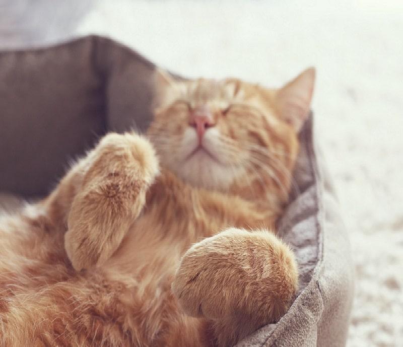 mèo bị co giật