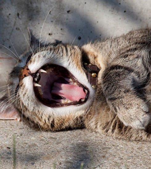 mèo bị hôi miệng