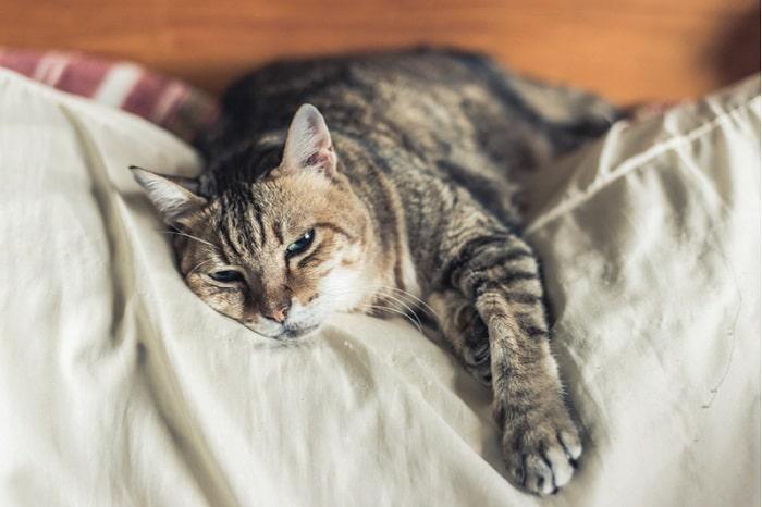 Nguyên Nhân Mèo Bị Bệnh Fip