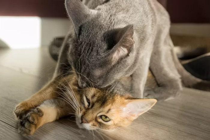 phối mèo