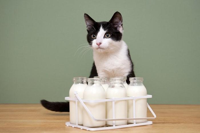 Top Các Loại Sữa Mèo Có Thế Uống