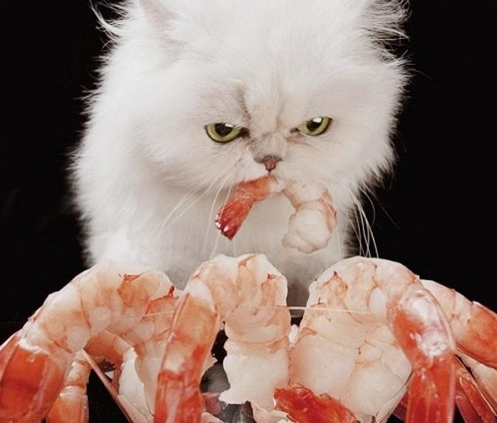 Khi Nào Mèo Không Nên Ăn Tôm?