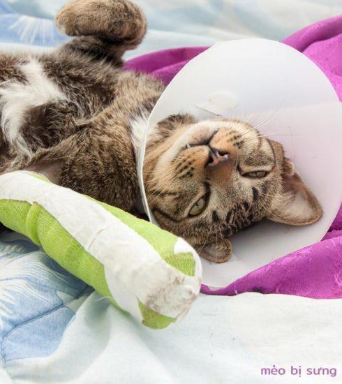 mèo bị sưng chân
