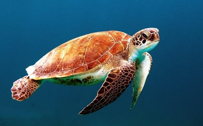 Có Bao Nhiêu Loài Rùa Biển?