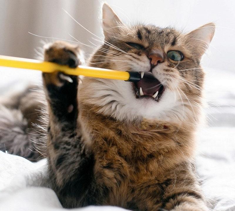 mèo cắn phá đồ