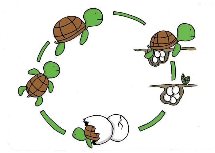 Vòng đời của rùa biển