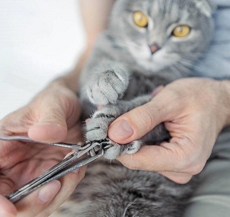 cắt móng cho mèo
