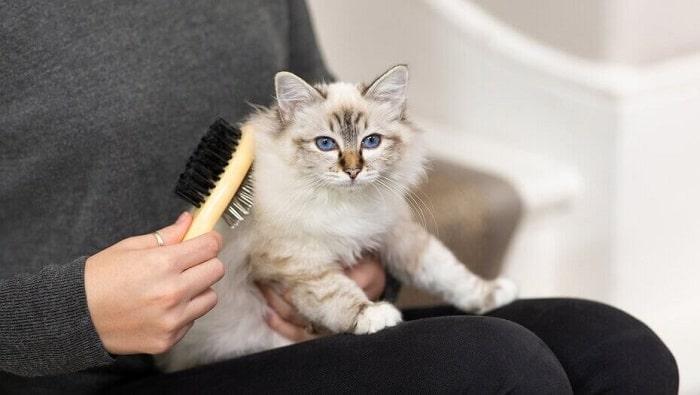 Cách chải lông mèo con