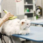 cách chải lông cho mèo