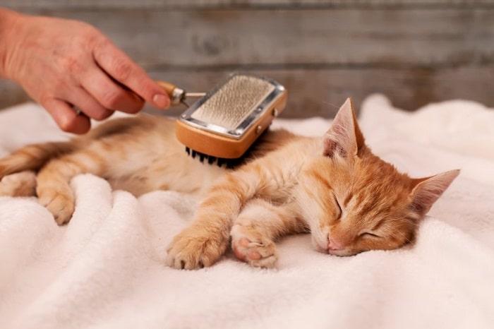 Cách chải Mèo lông ngắn