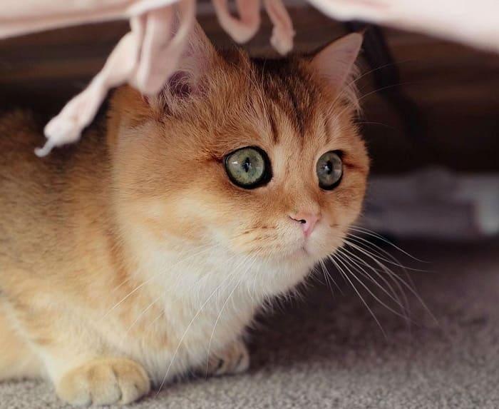 Mèo anh lông ngắn Golden