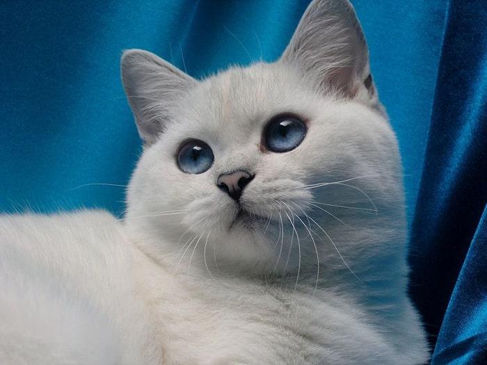 Mèo anh lông ngắn Silver