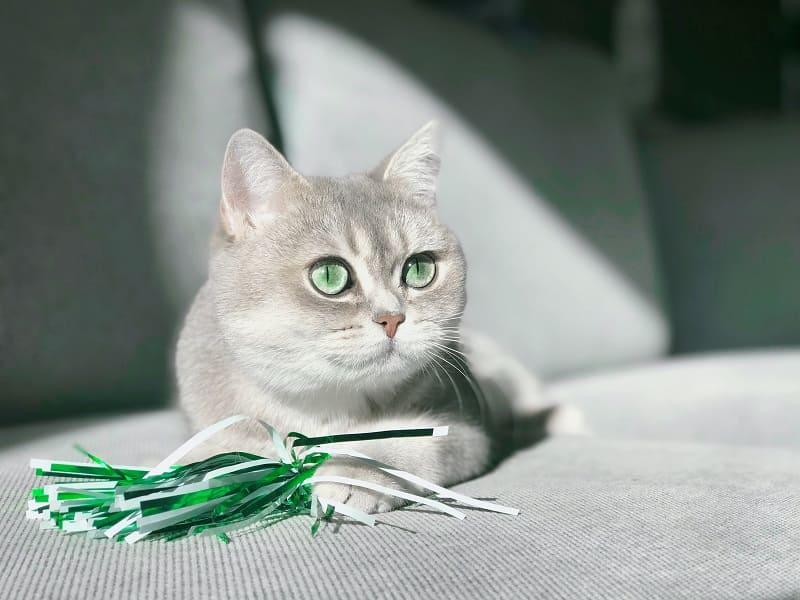 Các màu mắt mèo anh lông ngắn phổ biến