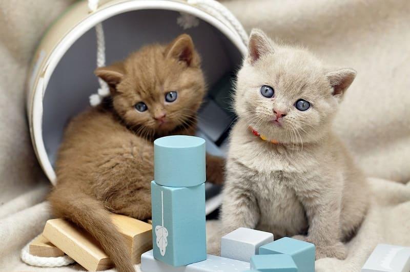 Khi Nào Mắt mMèo Anh Lông Ngắn Đổi Màu?