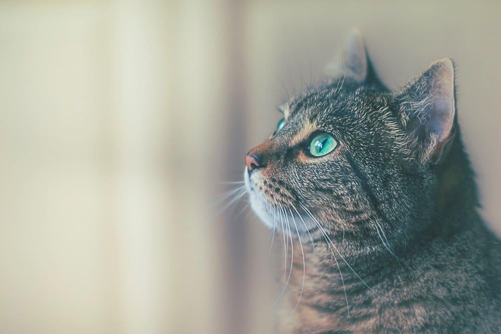 màu mắt mèo anh lông ngắn