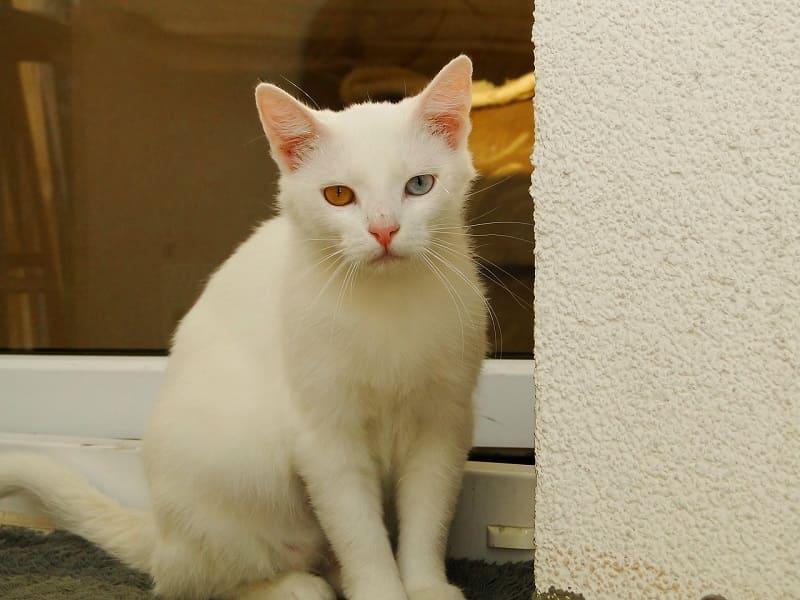 Mèo anh lông ngắn mắt 2 màu