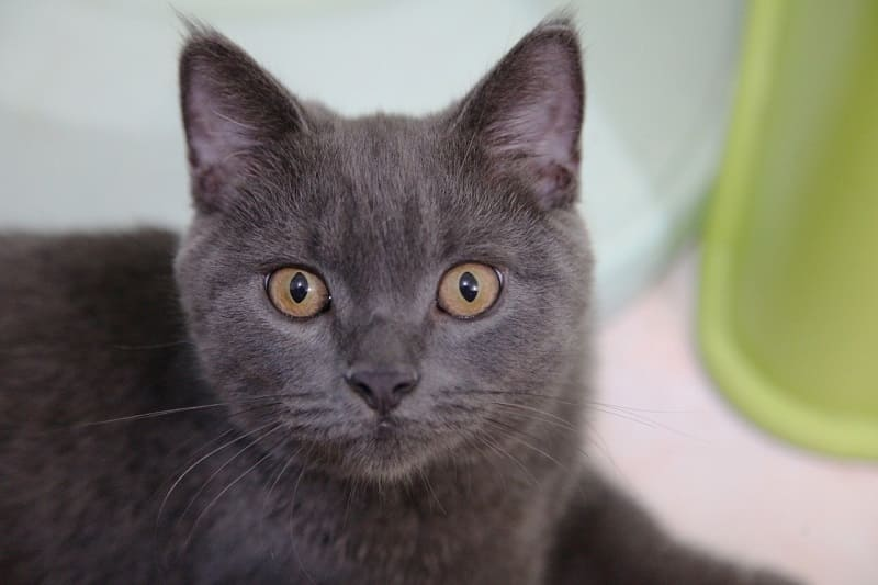 Mèo anh lông ngắn mắt màu nâu