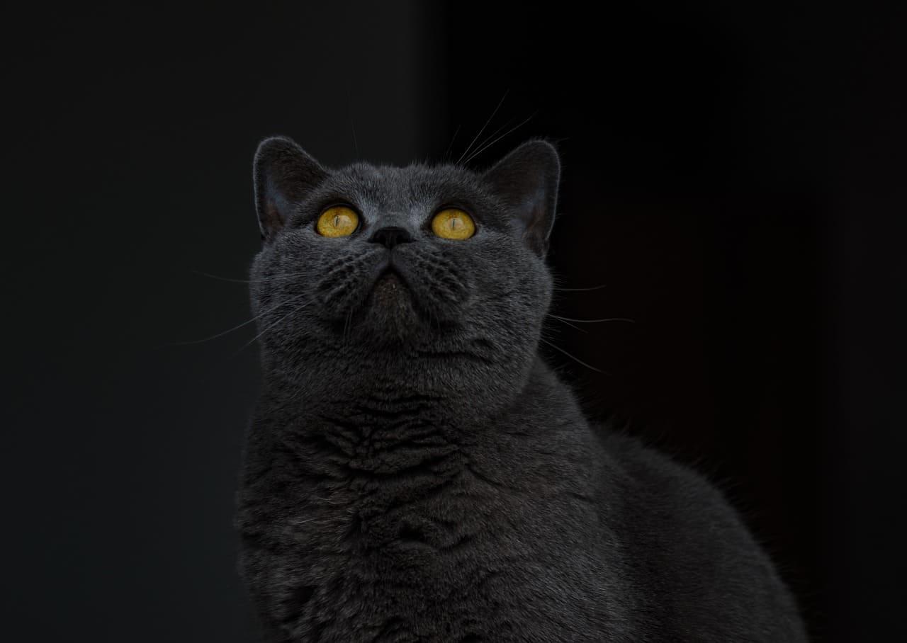 Mèo anh lông ngắn mắt màu vàng