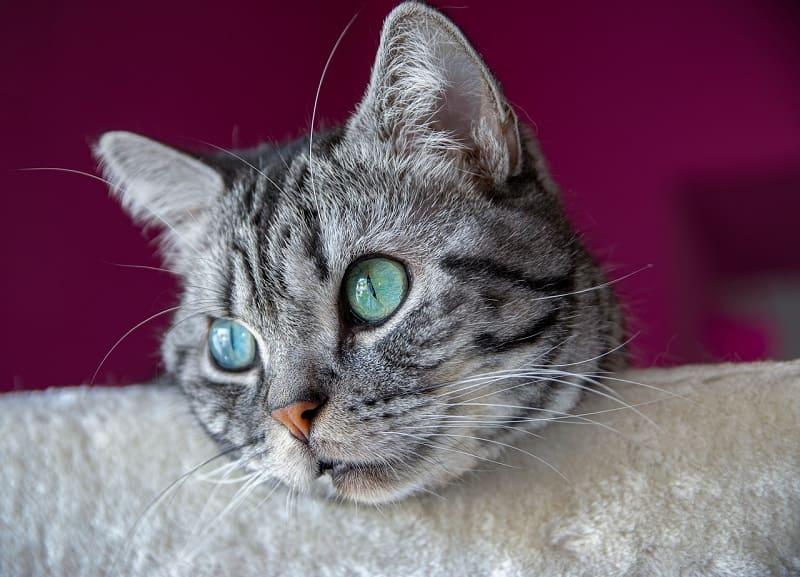 Mèo anh lông ngắn mắt xanh ngọc bích