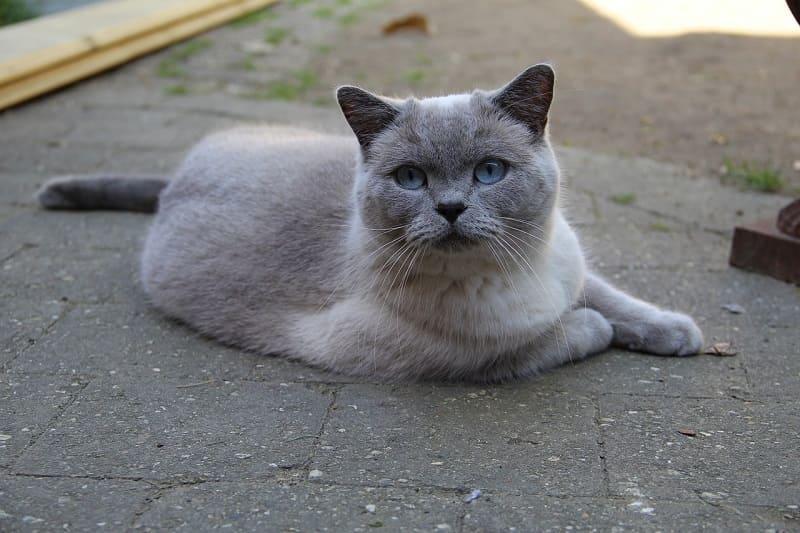 Mèo anh lông ngắn mắt màu xanh nước biển