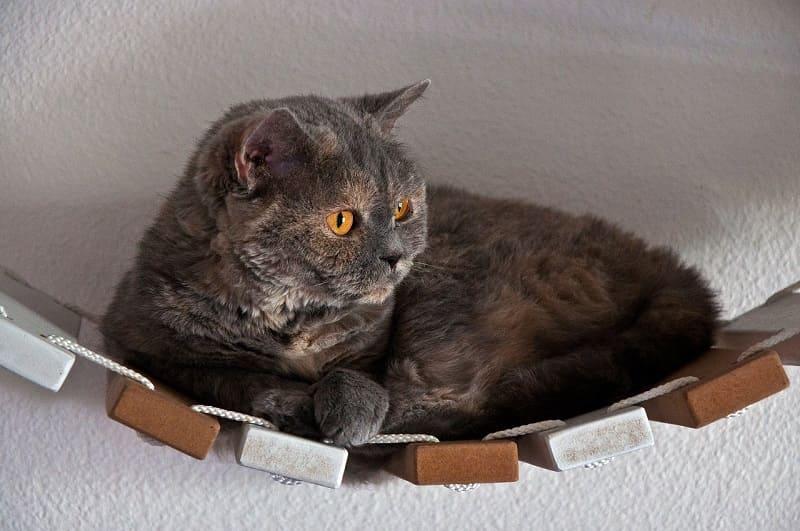 Vì Sao Mắt Mèo Anh Lông Ngắn Có Nhiều Màu