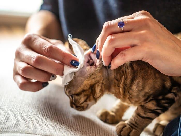 Nhận Biết Mèo Có Bị Rận Tai Hay Không